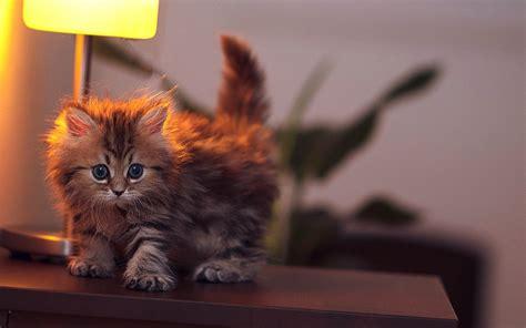 theme names for kittens baby cat wallpaper 30565 1920x1200 px hdwallsource com