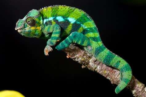 beautiful and colorful panther chameleon pictures amazing creatures