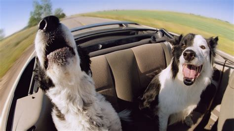 car dogs friday dogs in cars barks blooms