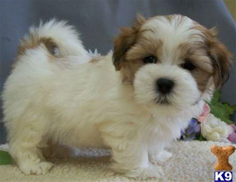 poodle maltese shih tzu mix best 25 shih tzu poodle ideas on adorable puppies baby dogs and