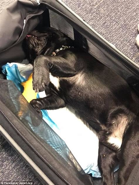 puppy died tearful 11 year speaks about s on united flight daily mail