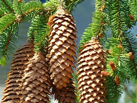 pine cone tree pine cones art prints conifer pine tree landscape baslee