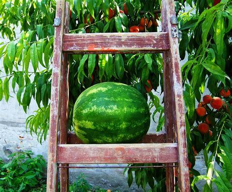 melonen im garten melonen anbau im garten freilandkultur oder gew 228 chshaus