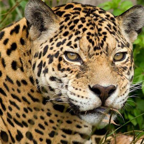arizona jaguar felines