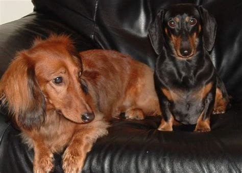 Haired Dachshund Shedding by 10 Dogs That Don T Shed For The Lazy Owner
