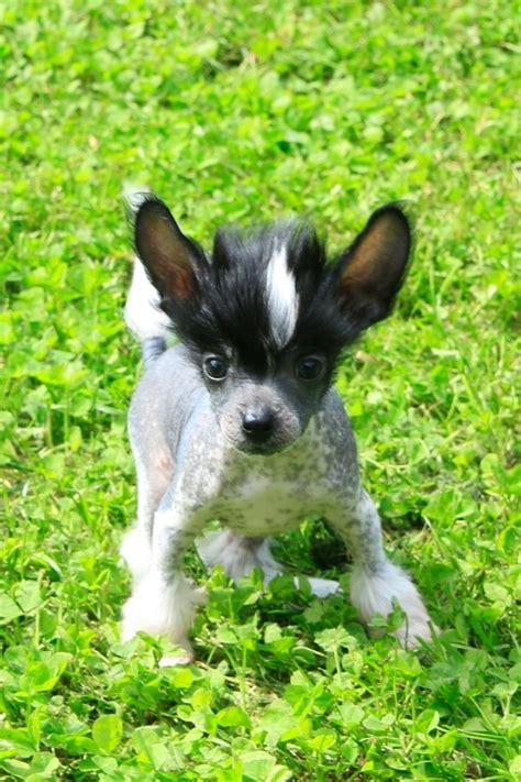 sooner puppies image gallery sooner puppies