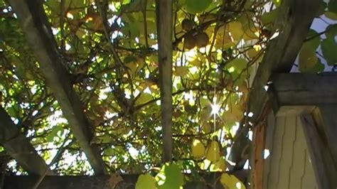 wann trã umt wann werden kiwi geerntet