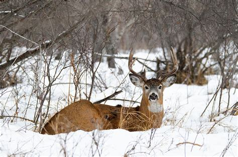 Deer Curtains Deer In Winter Photograph By Brandon Smith
