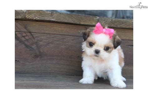 shih tzu puppies for sale in rock arkansas saphra shih tzu puppy for sale near rock arkansas a17407c0 6811