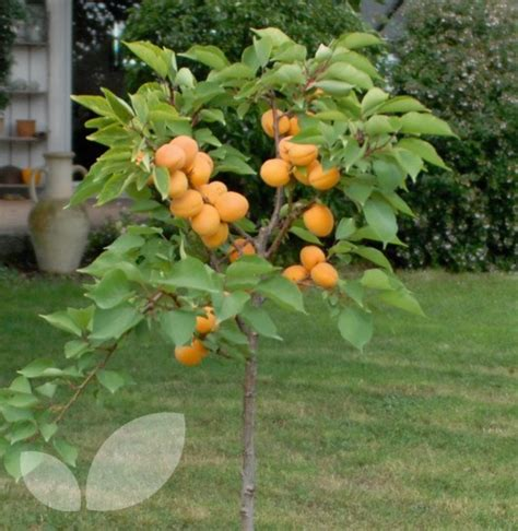 fruit trees for sale aprigold fruit trees for sale
