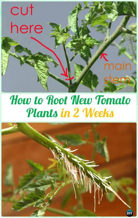 gardening tips  grow tomatoes harvest  containers