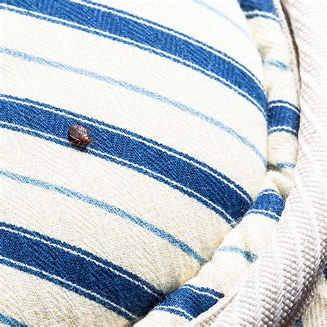 where did bed bugs come from originally 1000 images about pictures of bed bugs on pinterest