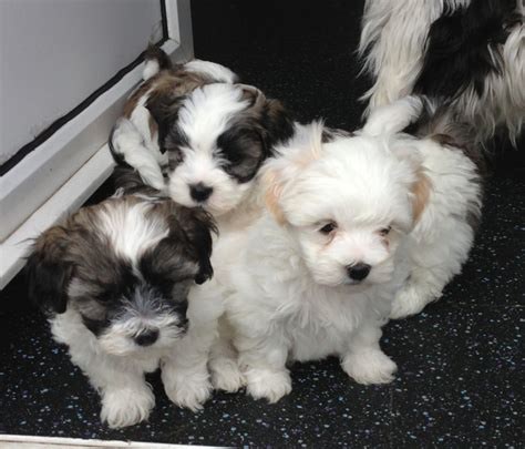 maltese x shih tzu puppies shih tzu x maltese puppies chatham kent pets4homes