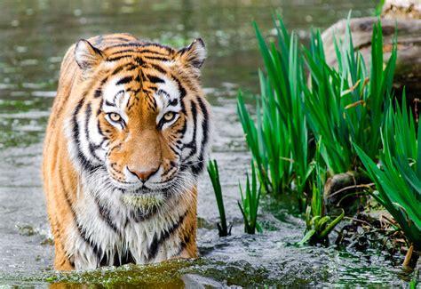 animal bengal tiger wallpaper bengal tiger hd animals 10217
