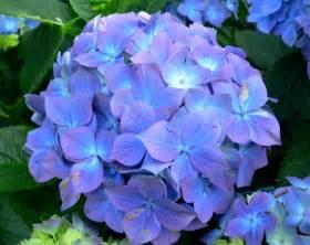 file hydrangea macrophylla blauer prinz 2 jpg wikimedia