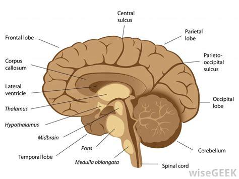diagram of a human brain human brain diagram