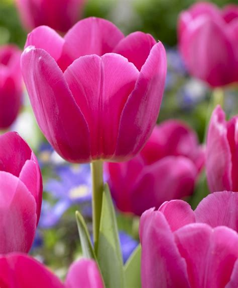Raised Garden Flower Beds - tulip barcelona