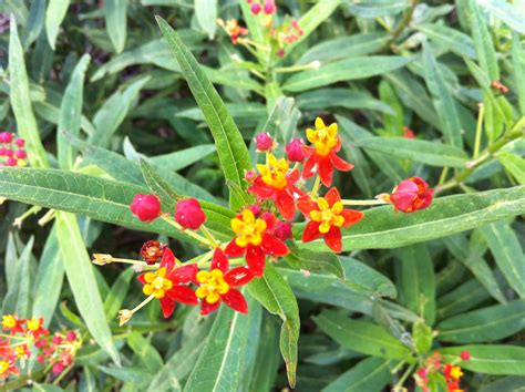 who s got milkweed updated plant guide for texas