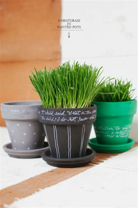 Wheatgrass Planter by Wheatgrass In Painted Pots Diy