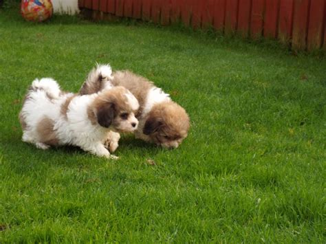 shih tzu x bichon puppies shih tzu bichon puppies puppy for sale healthy puppies