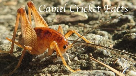 camel cricket facts