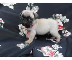 pug puppies for sale in nashville tn pug puppy animals tennessee announcement 29315