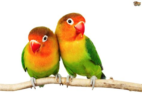love bird rescue fischer s lovebird pets4homes