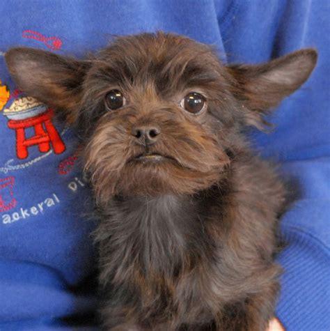 yorkie frenchie mix 1000 bilder zu ideal pets auf american staffordshire terrier pitbull und