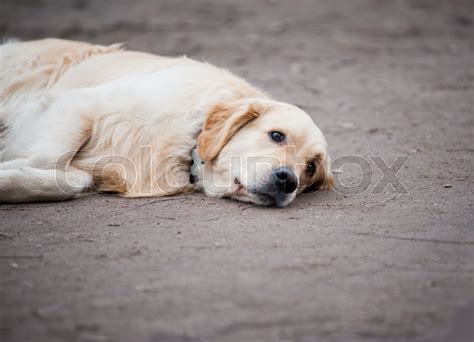 sad golden retriever puppy concept sad golden retriever is laying on a ground stock photo colourbox
