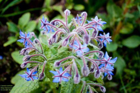 fiori di acero borragine 171 l acero contuso