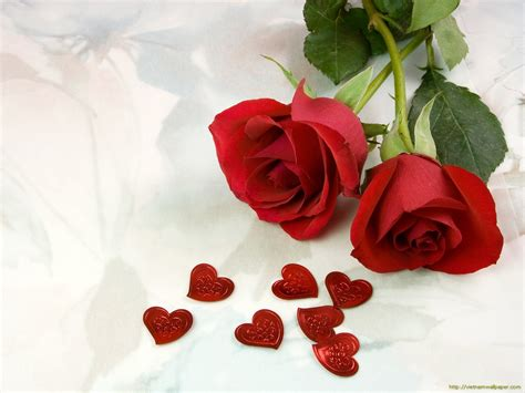 wallpaper download flower rose rose flowers wallpaper rose flower wallpaper download