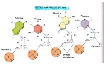 cadena de adn de 15 nucleotidos pau i e s jos 233 caballero tipos de 225 cidos nucleicos