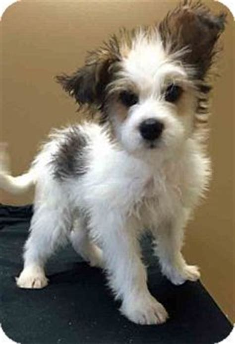 terrier mix puppies for adoption 1000 ideas about mix on russells terrier and