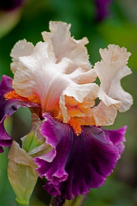 Iris Flower Garden 123 Best Images About Flowers Iris 2 On Gardens Seasons And Chinook Wind