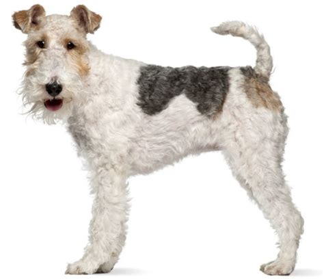 Wire Fox Terrier Shedding wire fox terrier low shedding puppy and pet