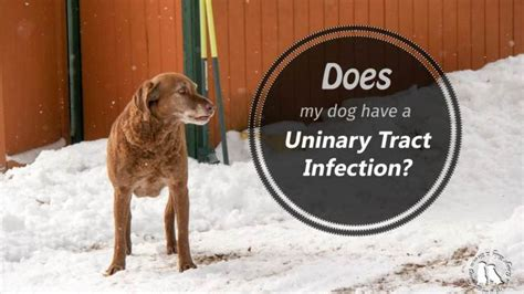 bladder infection in dogs recognizing urinary tract infections in dogs 2 brown dawgs