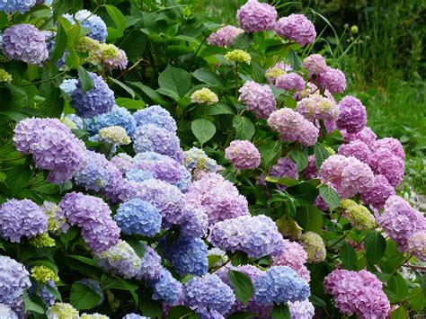 plant hydrangeas to get the best blooms espoma