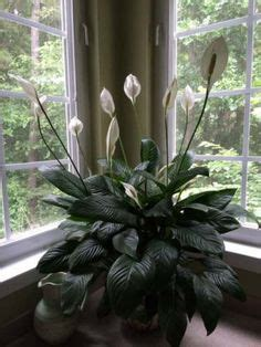 1000 ideas about peace lily on pinterest spider plants 1000 ideas about peace lily on pinterest spider plants