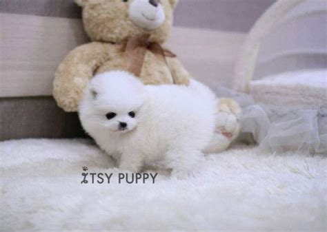 how big do teacup pomeranians get 1000 images about teacup puppies for sale on morkie puppies for sale
