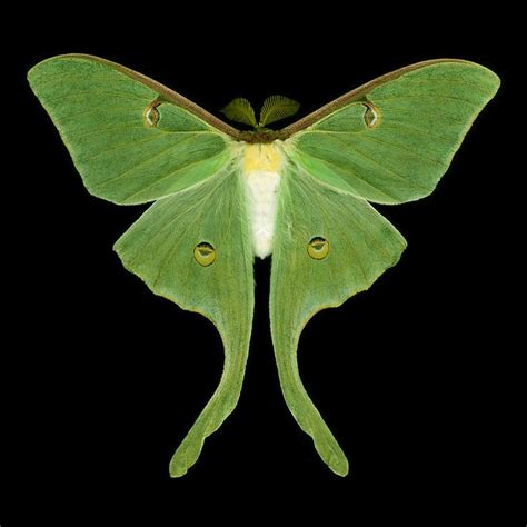 luna moth actias luna male
