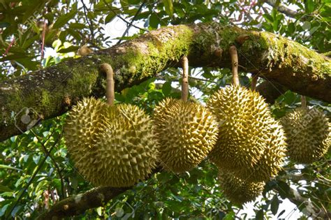 all about ayurveda and herbs durian fruit all about