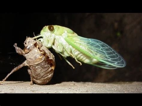 What Bugs Shed Their Skin by Quot Locusts Quot Molt Shed Their Skin Cicadas Magicicada Cassini