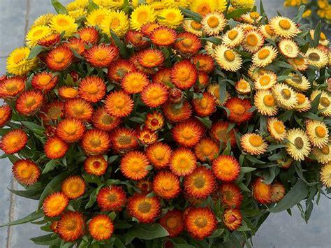 elicriso fiori fiore di carta elicriso bracteato helichrysum