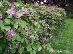 Vigorous Climbing Plants - hyacinth bean vine seeds purple lablab purpureus dolichos lablab