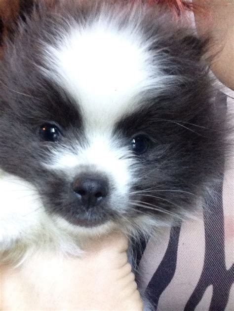 panda chin puppy haircuts 17 best images about pomeranians on pinterest cutest