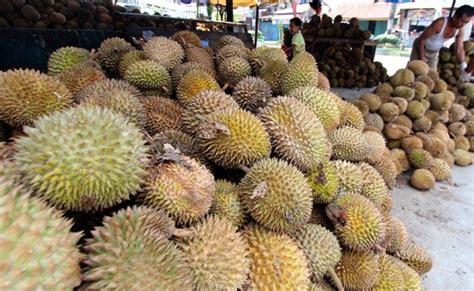 Jual Starbio Plus Di Medan mengapa durian medan selalu ada dan tak kenal musim ini