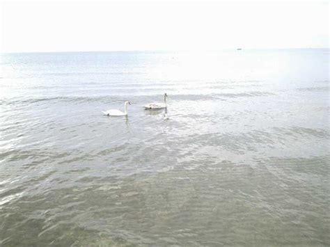 sede inps pomezia buone notizie per l ambiente avvistati cigni nel mare di