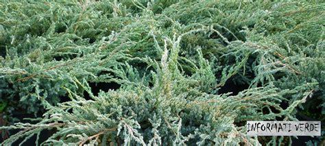 arbusti sempreverdi da giardino arbusti fioriti e alberi ornamentali vivaio un