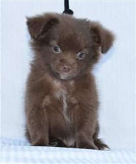 shih tzu pomeranian chihuahua mix shichi on chihuahua mix shih tzu and chihuahuas
