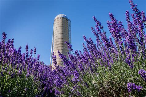 when is lavender in season in michigan about us lavender hill farm